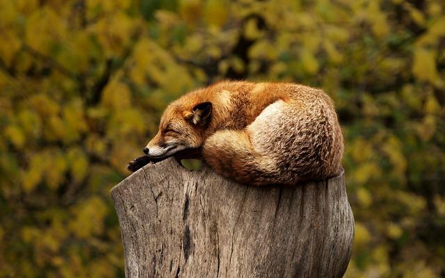 spící liška
