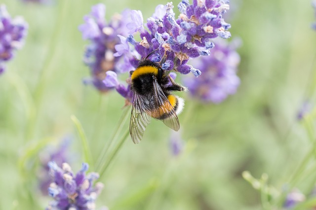 včela na levanduli